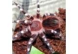 1 x tarantula Lasiodora parahybana de 5 fh (naparliri)+ terariul in care s-o tineti (20x20x20cm.) + hrana